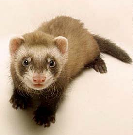 http://www.discourse.net/archives/pix/ferret.jpg