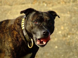 Staffordshire Bull Terrier brindle portrait by Gemma Longman - Flickr. Licensed under CC BY 2.0 via Wikimedia Commons - https://www.discourse.net/site/wp-content/uploads/2015/01/320px-Pitbull_7906724602-200x300.jpg