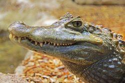 Random public domain alligator